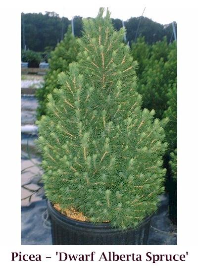 Alb_Spruce_crop