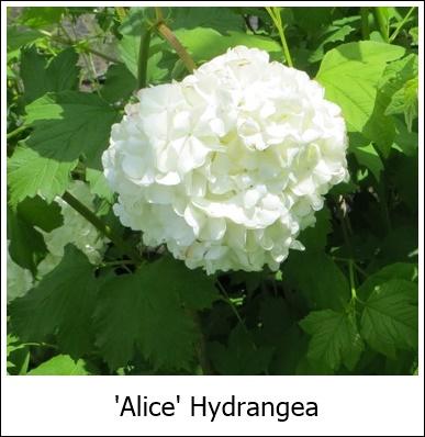 Alice Hydrangea 5-24