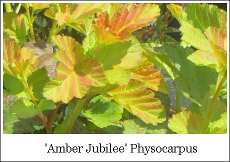 Amber Jubilee 8-14-2