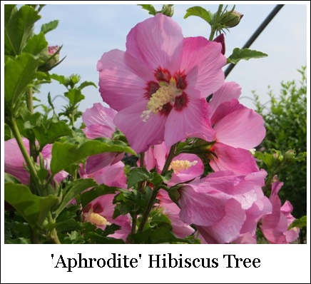 Hibiscus Rose Of Sharon Aphrodite Tree Form