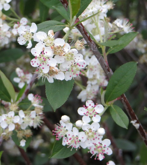 Aronia Brilliantissima 4-27