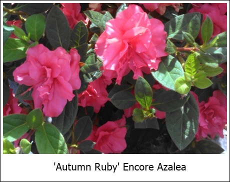 Autumn Ruby 9-9