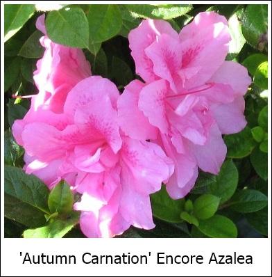 AutumnCarnation