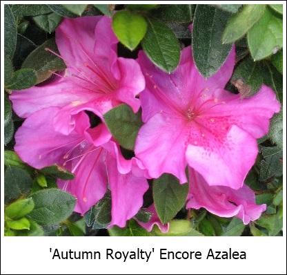 AutumnRoyalty 9-14