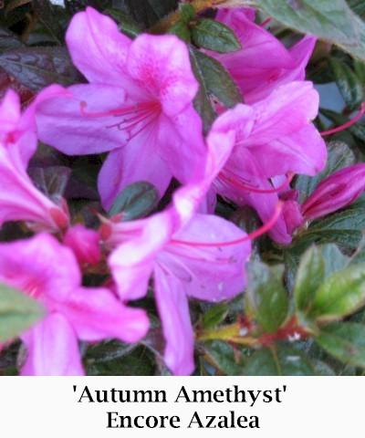 Autumn_Amethyst3