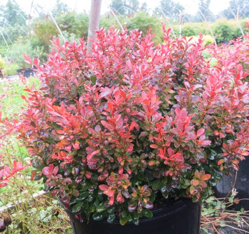 Bagatelle Barberry