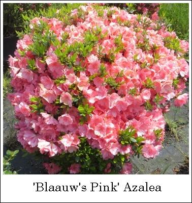 Blaauws Pink 5-7