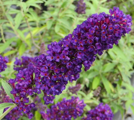 black-knight-butterfly-bush-9-20-16