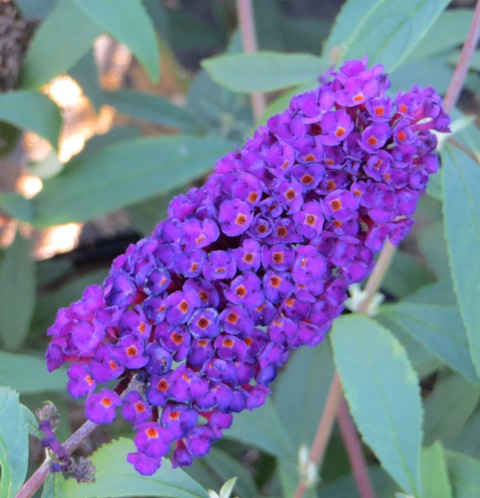 black-knight-butterfly-bush3