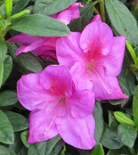 Bloom-A-Thon Lavender Azalea2 9-27
