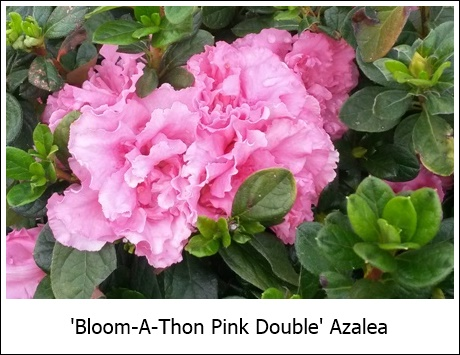 Bloom-A-Thon Pink Double 10-3-14