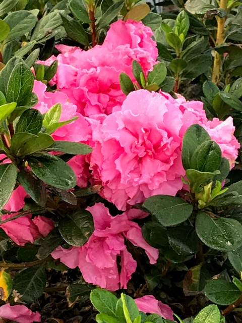Bloom-A-Thon Pink Double Azalea 9-22