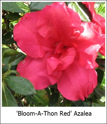 Bloom-A-Thon Red