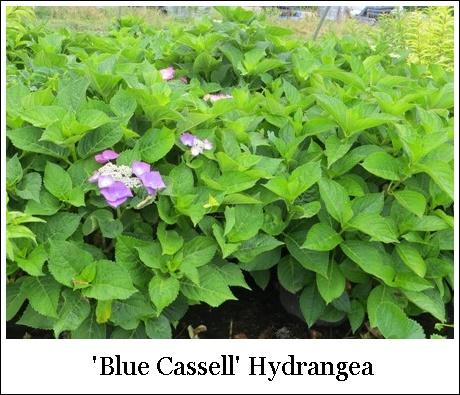 Blue Cassell 6-19