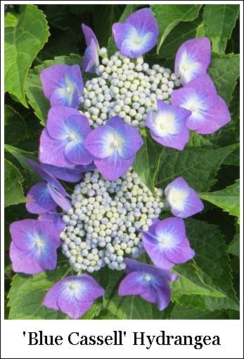 Blue Cassell 7-3-3