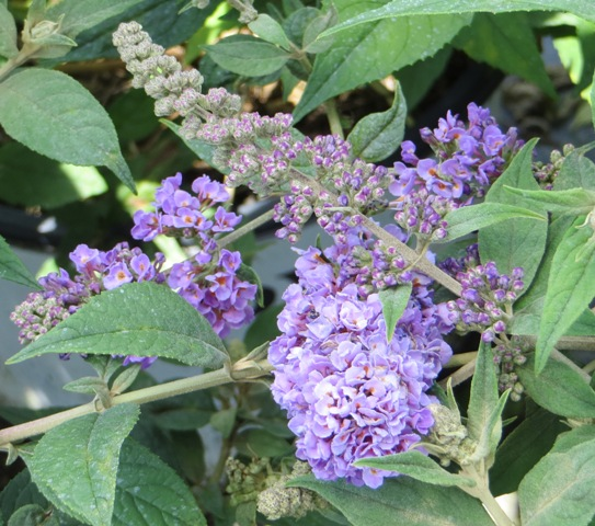 Blue Chip Butterfly Bush2 6-29