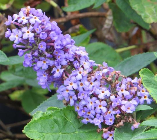 Blue Heaven Butterfly Bush