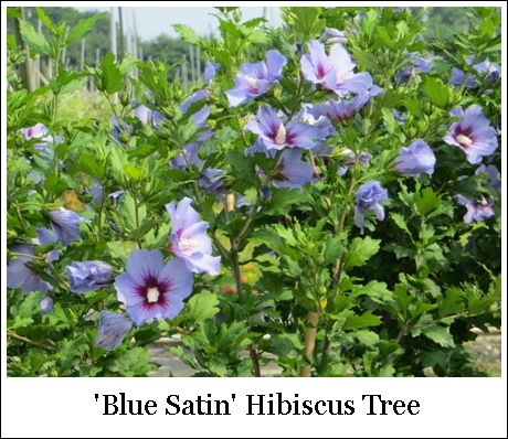 Hibiscus Rose Of Sharon Blue Satin Pp12680 Tree Form