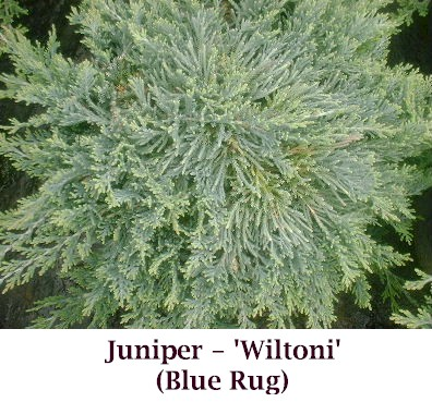 Juniper Horizontalis Wiltoni Blue Rug Riggins