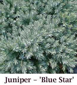 Blue_Star_crop
