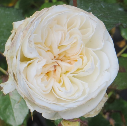 Bolero Rose 5-11