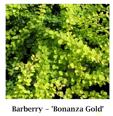 Bonanza_Gold