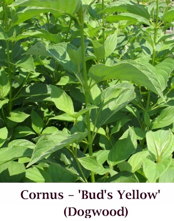 Buds_Yellow_new