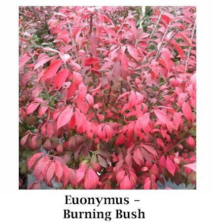 Burning_bush