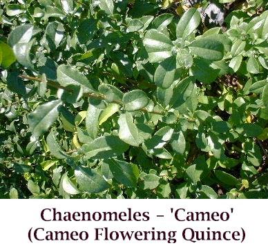 Cameo2_crop