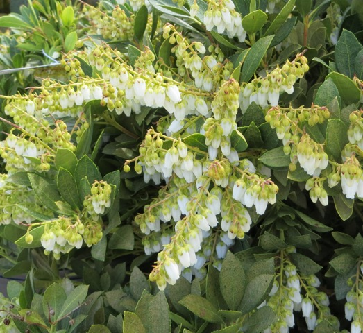 Cavatine Pieris 3-30