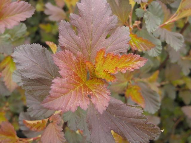 Center Glow Physocarpus 4-13