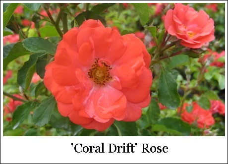 Coral Drift 8-7