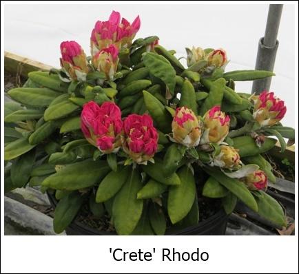 Crete_buds