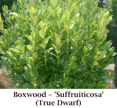 Dwarf_Boxwood2_crop