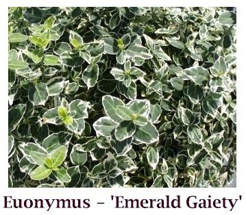 Emerald_Gaiety