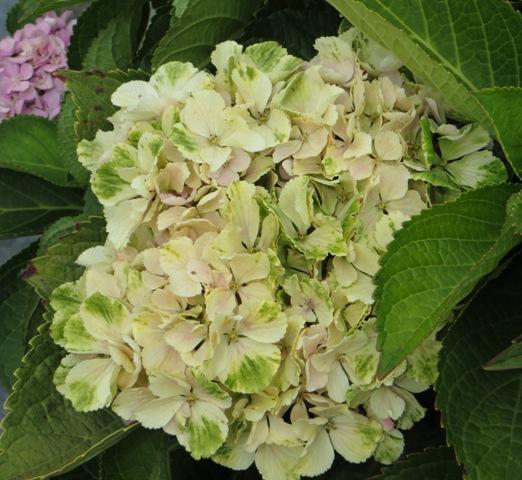 everlasting-amethyst-hydrangea2-8-10