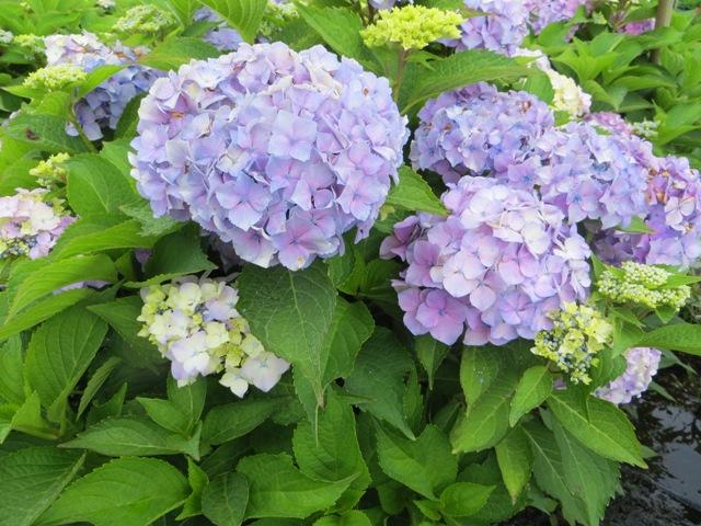 Everlasting Harmony Hydrangea 7 gallon 7-5