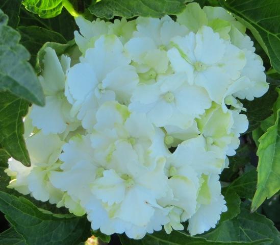 Everlasting Jade Hydrangea7-6