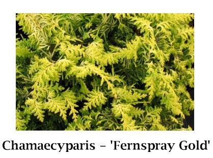 Fernspray_Gold