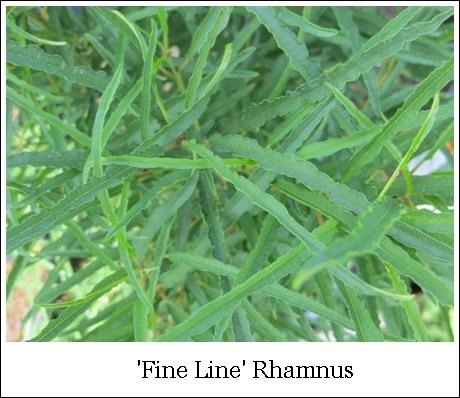 Fine Line Rhamnus 8-18-2