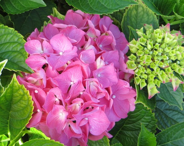Forever Pink Hydrangea 7-6