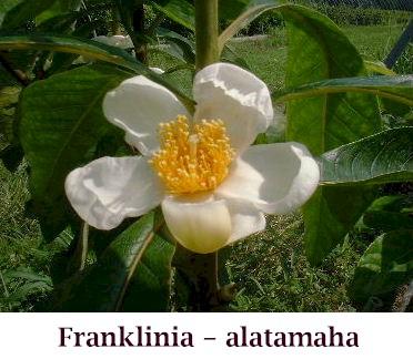Franklinia_flowercrop