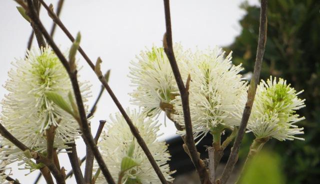 Gardenii Fothergilla2 4-13
