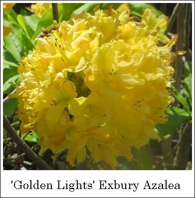 GoldenLights5-14