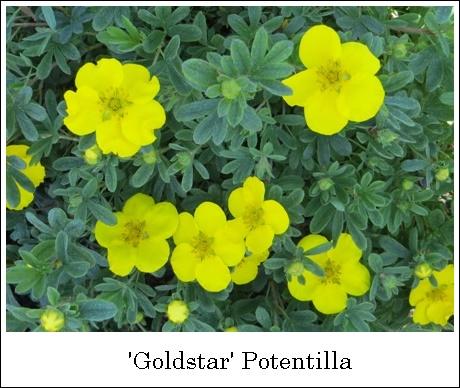 GoldstarPotentilla5-14