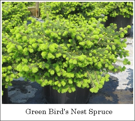 GreenBirdsNestSpruce