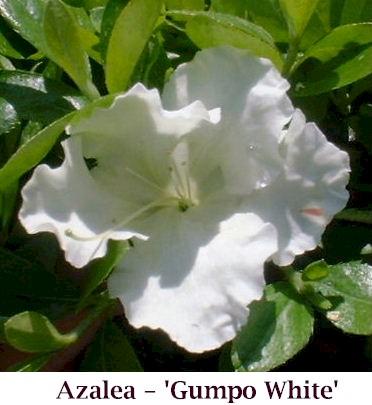 Gumpo_White_crop