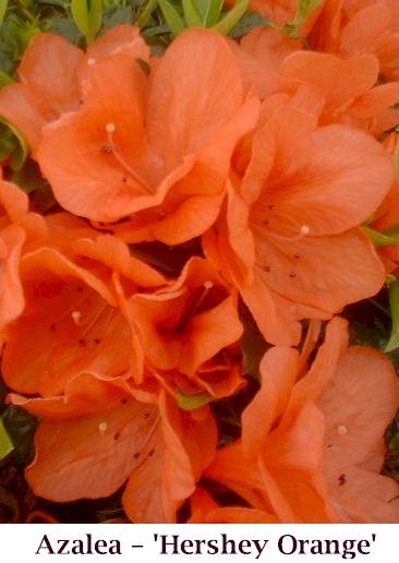 H_Orange_new
