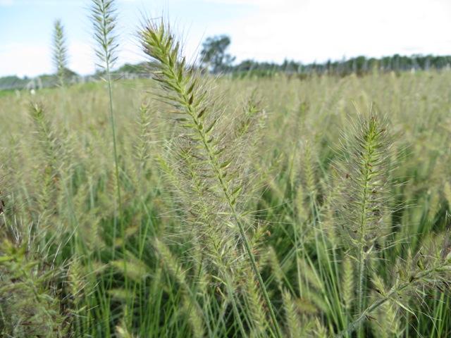 Hameln Ornamental Grass Pennisetum hameln ornamental grass riggins nursery llc hameln pennisetum 8 14 workwithnaturefo