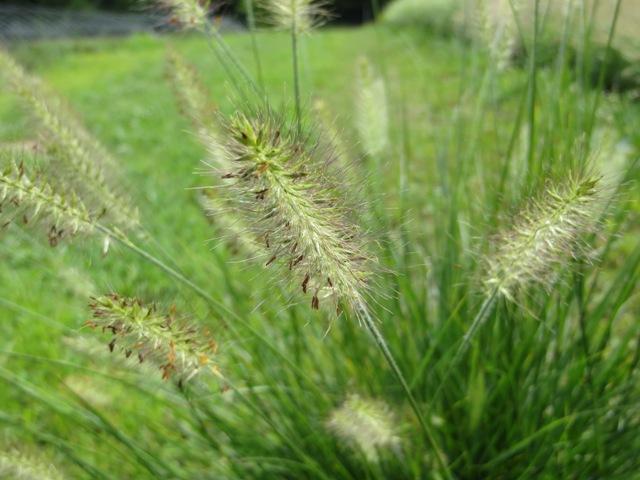 Hameln Ornamental Grass Pennisetum hameln ornamental grass riggins nursery llc hameln pennisetum2 8 14 hameln pennisetum2 8 10 workwithnaturefo